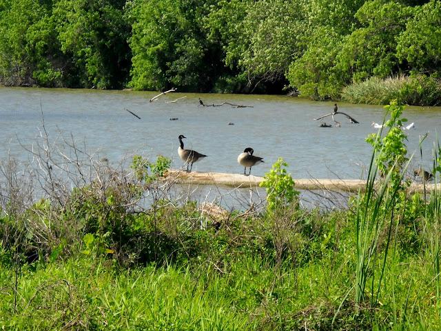 Canada Geese at Sunset Bay, White Rock Lake, Dallas, TX