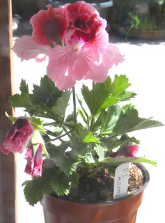 Regal Pelargonium PJ Miranda small plant