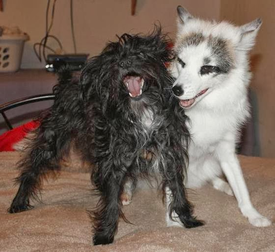 Rescued arctic marble fox restored back to health with help from dog (Video)
