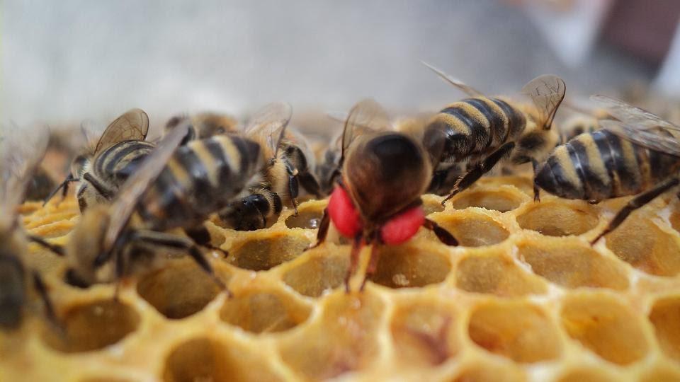 ana arı üreticileri