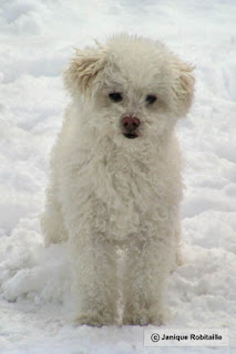 animal chien caniche dans la neige