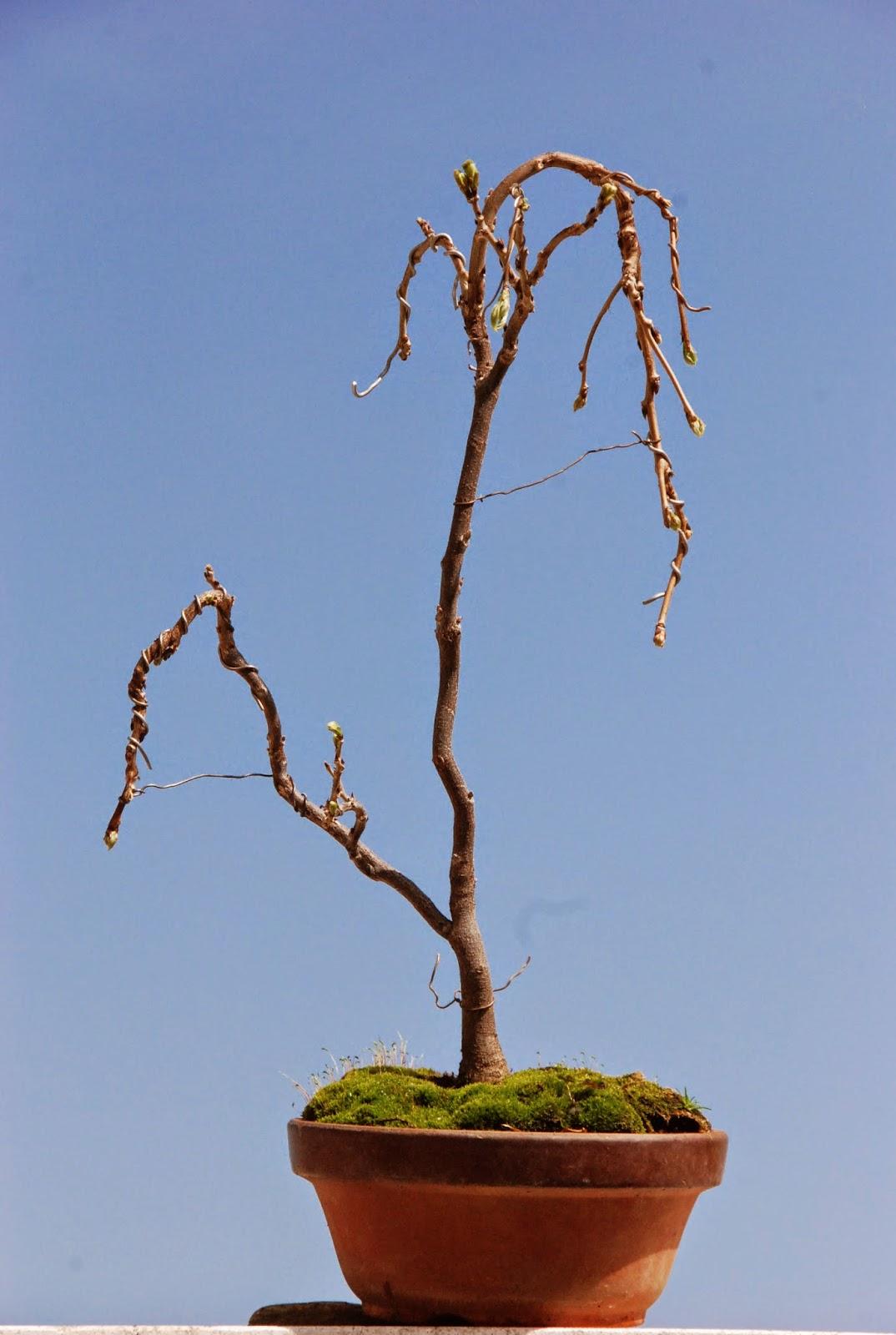 Bonsai de javier neila flores en la glicinia - Glicinia en maceta ...