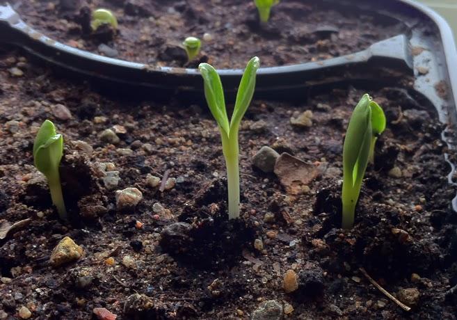Kronärtskocksgrodblad tittar upp ur jorden.