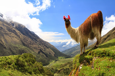 Lama at Soraypampa