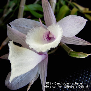Dendrobium aphyllum do blogdabeteorquideas