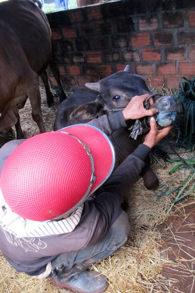 Chư Pưh: Xuất hiện dịch lở mồm long móng trên đàn bò