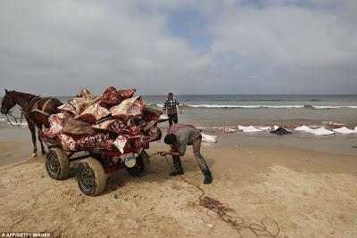 Subhanallah | Allah Turunkan Rezeki Dengan Terdampar Beribu Ikan Pari Bernilai Tinggi Di Gaza ( Gambar )