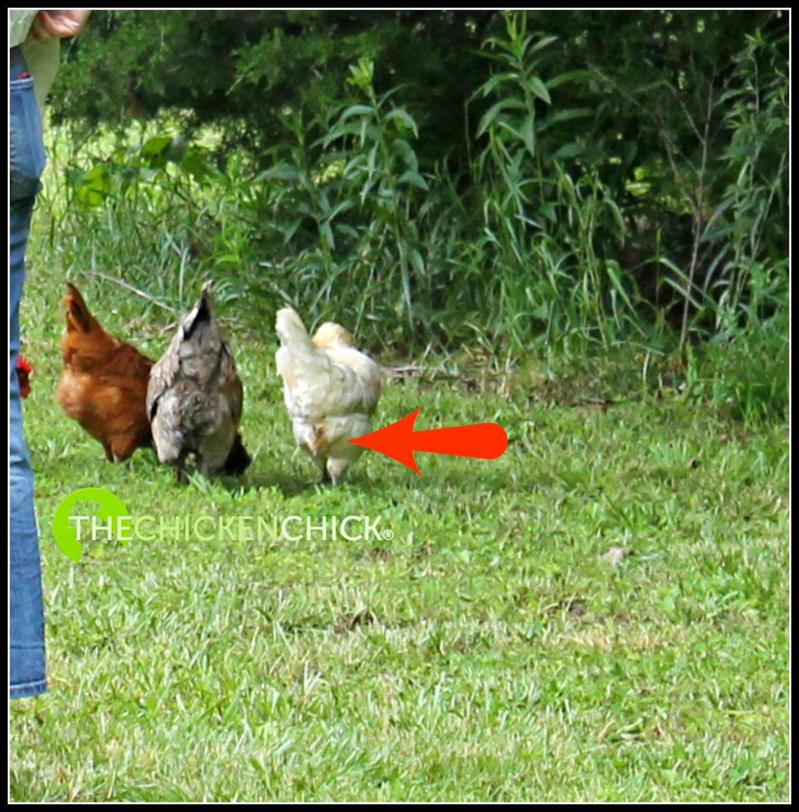 the chicken poultry lice and mites identification and