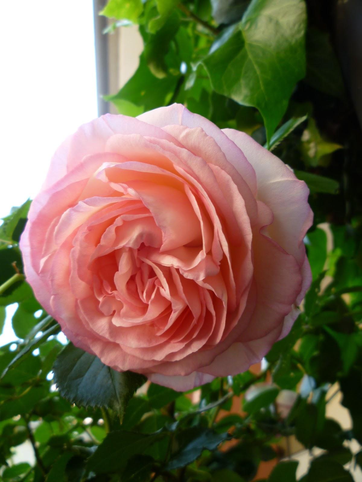 Vivere italiano la rosa pierre de ronsard for Pierre de ronsard rosa