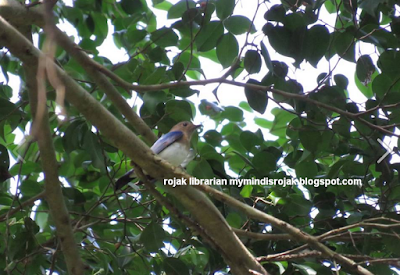 Blue and White Flycatcher in Dairy Nature Farm Park