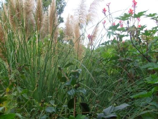 Ma plan te jardin l 39 herbe de la pampa est belle en bonne for Graminee geante