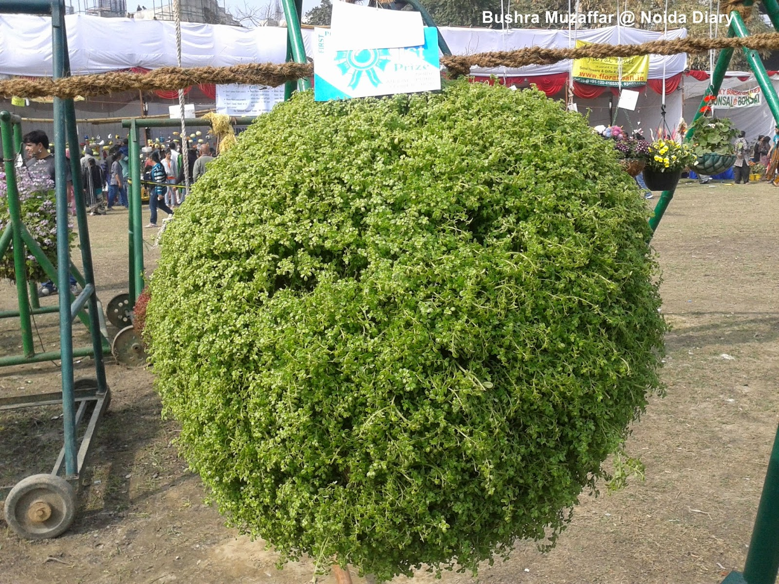 Award winning huge ball of foliage at the Noida Flower Show 2014