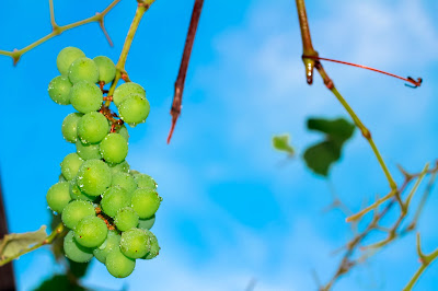 Probolinggo Kota Anggur