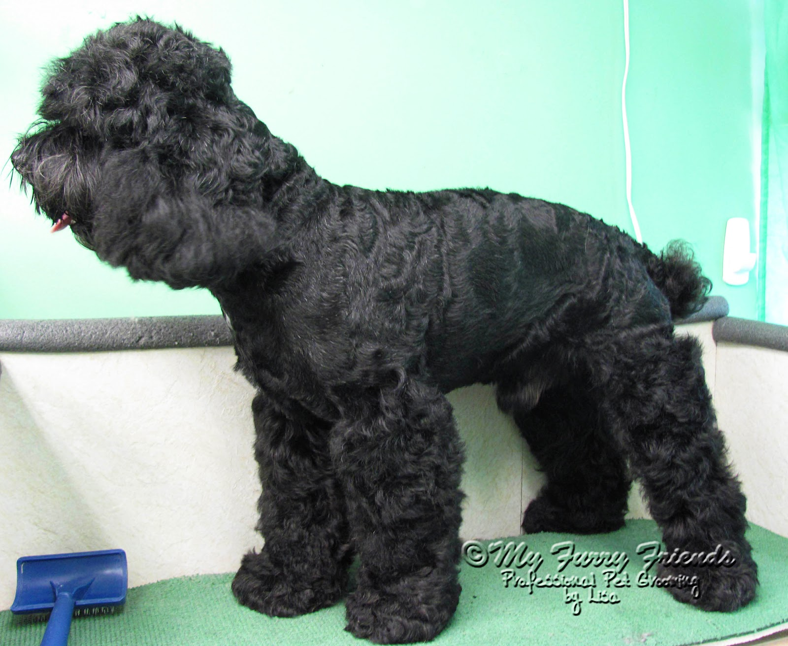Cockapoo haircuts - Because I Broke One Of My Own Rules