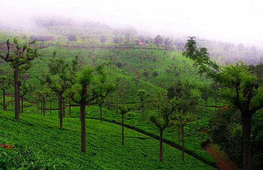 Tea estate of Coonoor