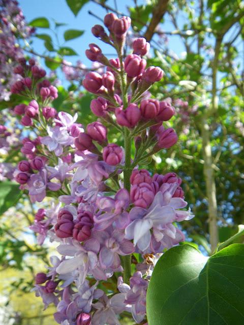 Lilac flowers - Flori de liliac