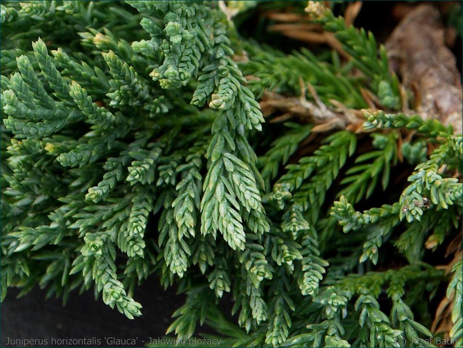 Juniperus horizontalis 'Glauca' - Jałowiec płożący 'Glauca' igły
