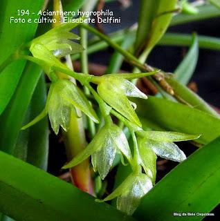 Pleurothallis hygrophila, Arthrosia hygrophila, microorquidea