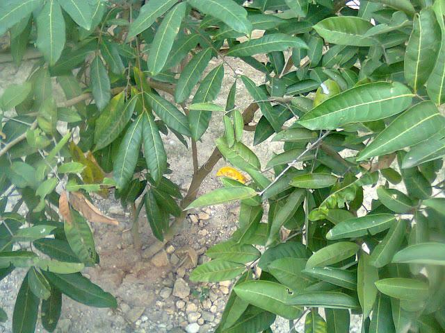 Pohon Kelengkeng Ping Pong Sedang Masa Perawatan