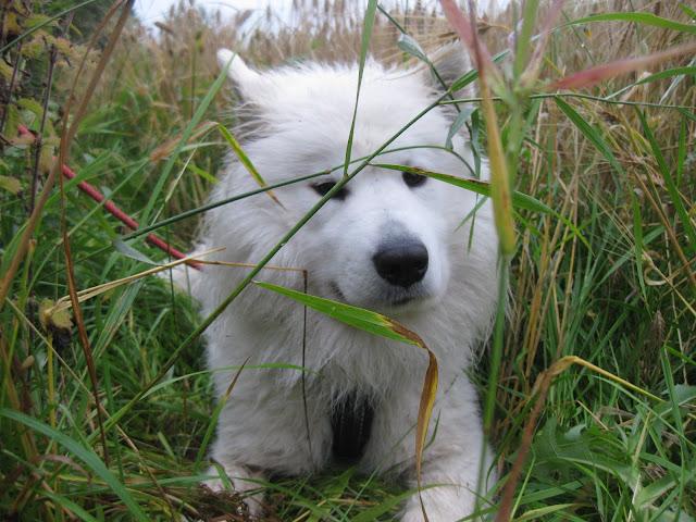 sekarotuinen koira samojedi