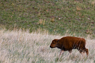Custer State Park Black Hills SD Buffalo Bison Calves by Dakota Visions Photography LLC www.dakotavisions.com