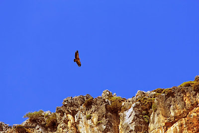 Vulture over Manikas gorge