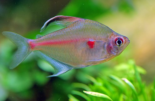 Aquarium fish bleeding heart tetra for Tetra acquario