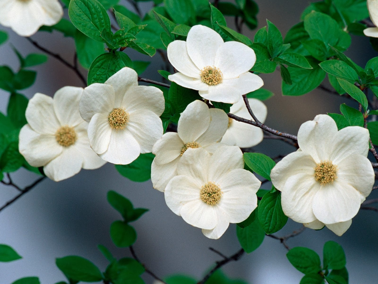 dogwood tree flower meaning, Natural flower