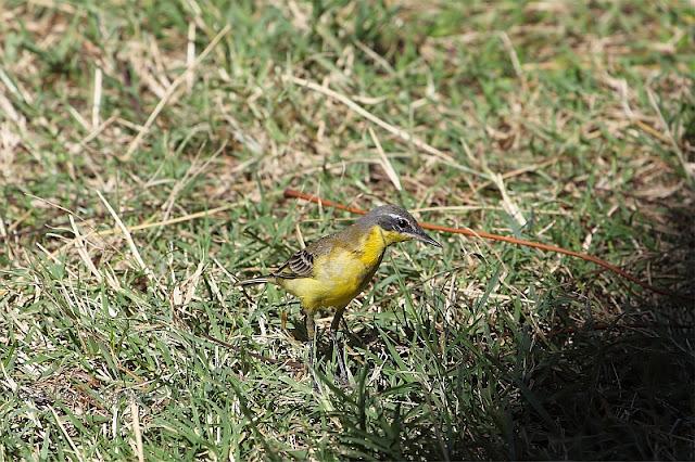 western yellow wagtail Motacilla flava in Ethiopia