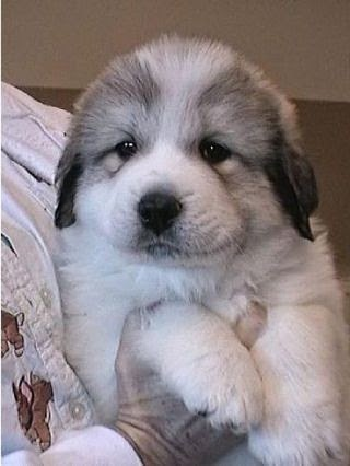 See more Great Pyrenees puppy http://cutepuppyanddog.blogspot.com/