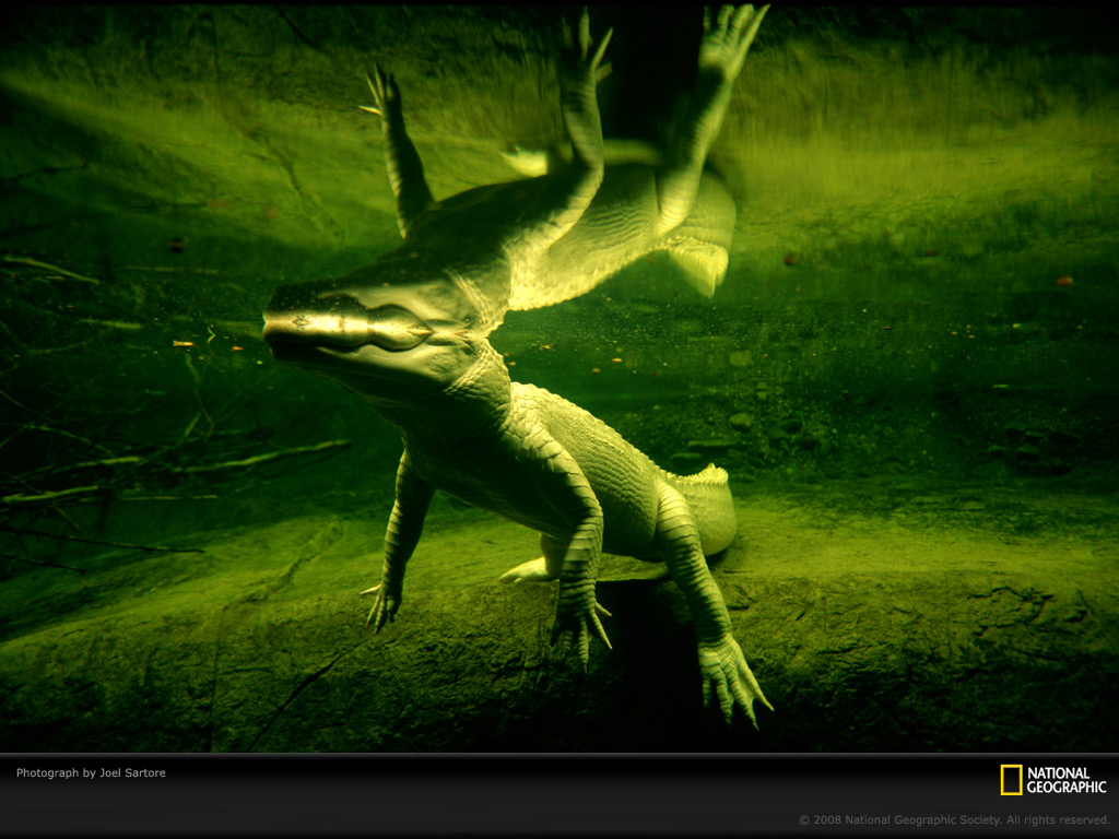 Wallpaper Collections Alligator Background