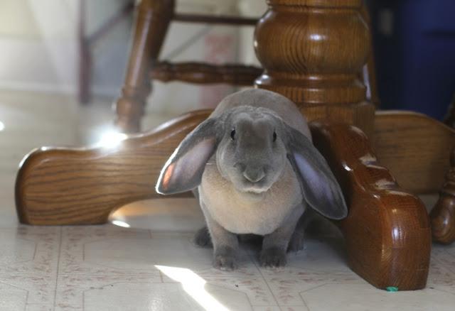 Velveteen Lop rabbit in our kitchen