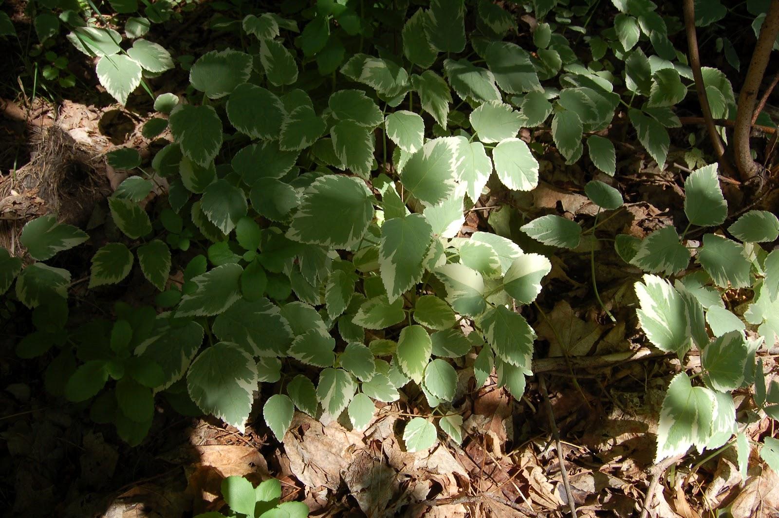 3 jardins au qu bec herbe aux goutteux ou herbe aux go teux for Plante vivace verte