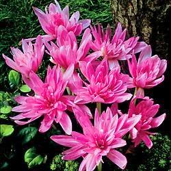 Bunga Autumn Crocus Salah Satu Bunga Beracun