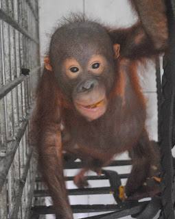 Rika is now in quarantine at the orangutan rescue centre