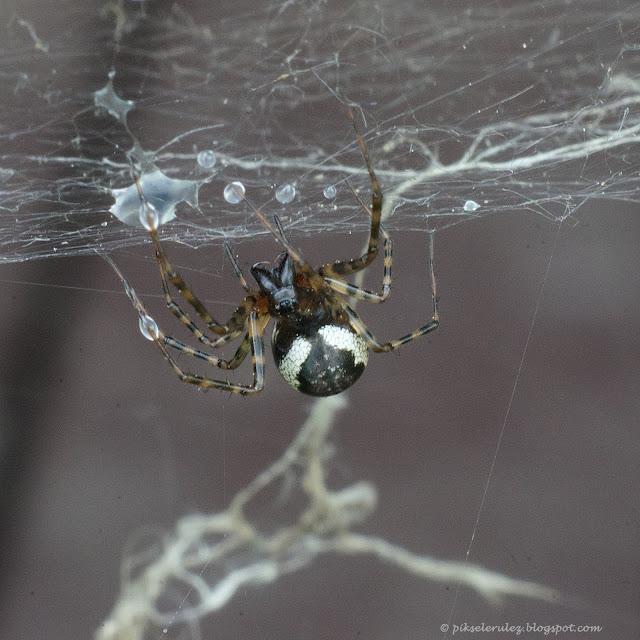 pająk, pajęczyna, krople wody, kolorowe, zdjęcie