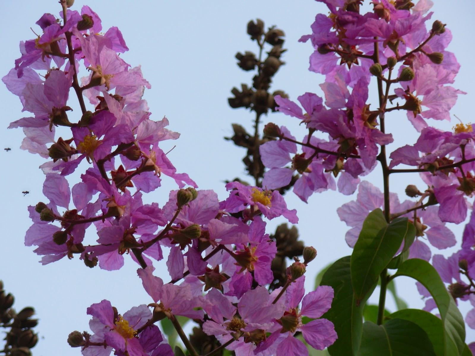 Summer Blooms Along Bangalore Roads Rambling