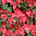 POINSETTIA – THE CHRISTMAS FLOWER: