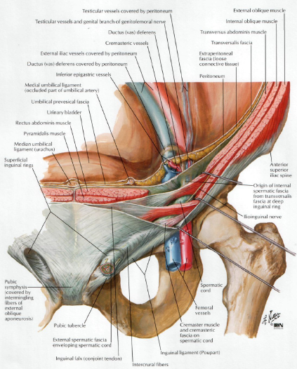 Human Medecine: Inguinal Canal- Function of the Inguinal Canal ...