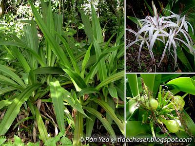 Crinum Lily (Crinum asiaticum)