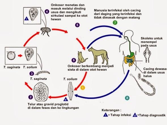Siklus hidup Taenia