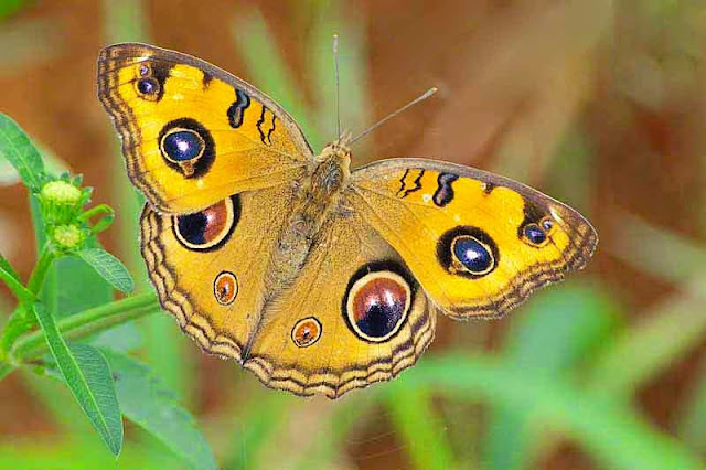 Peacock Pansy,Junonia almana, butterfly