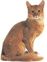 somali cat info pets kitten animal domestic