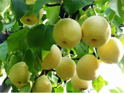 buah pir