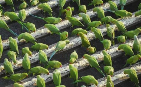Ινδός ταΐζει καθημερινά πάνω από 4000 εξωτικούς παπαγάλους