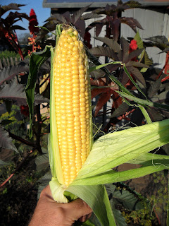 кукуруза Тройная Сладость