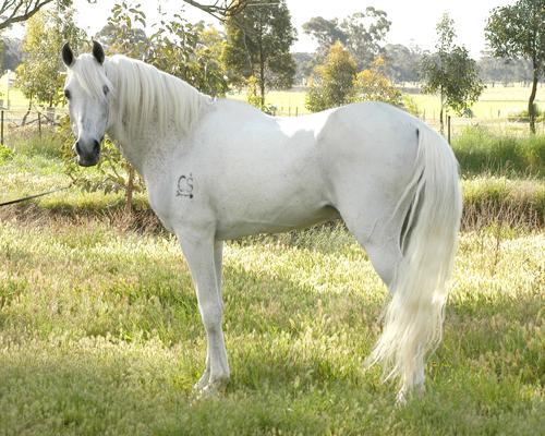 White arabian horse - photo#11
