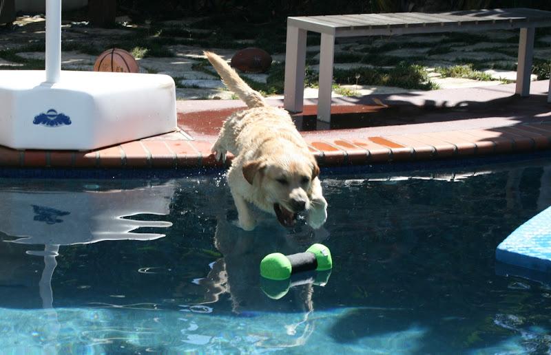 Labrador pool toy fun