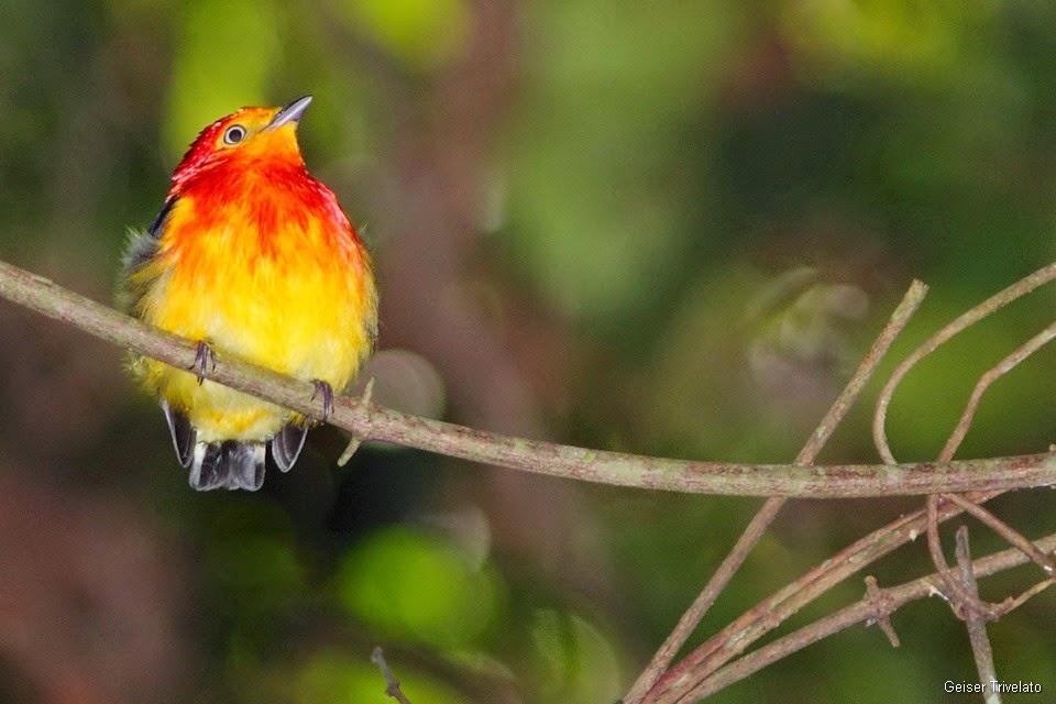 A estrela e a Lenda do Pássaro Uirapuru, símbolo da Felicidade