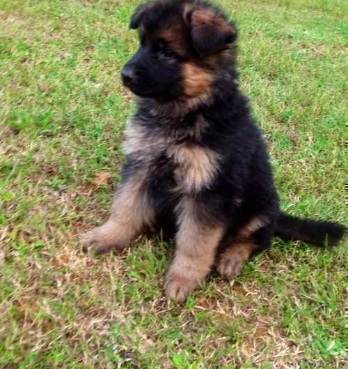Rules of the Jungle: German Sheppard puppies